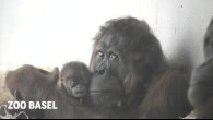 Orang-Utan-Nachwuchs im Zoo Basel 