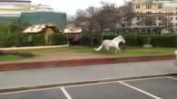 Oster-Pony läuft in Moskau Amok