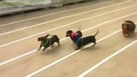 Renn, Dackel, renn!
