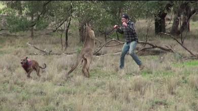 Australier schlägt Känguru nieder