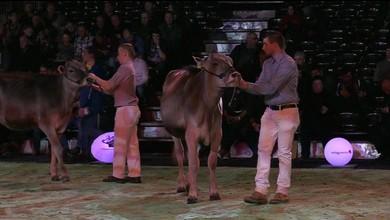 Les plus belles vaches rivalisent à Lausanne