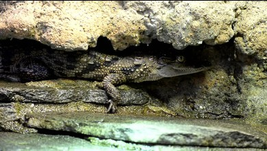 Les bébés crocodiles sacrés se dévoilent cet automne à Aquatis